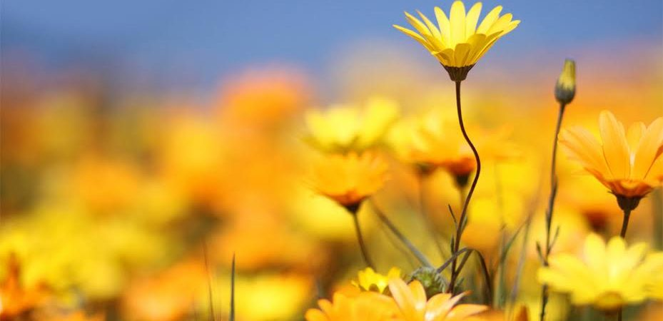 Arnica – The Proof is in the Pudding