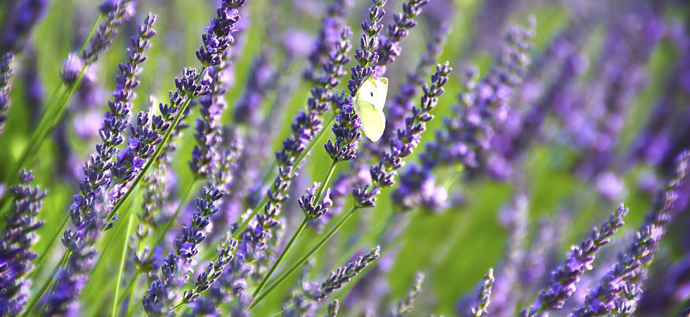Lavender – Research and the Essential Oils